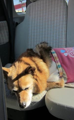 帰りの車の中 眠っているさくら