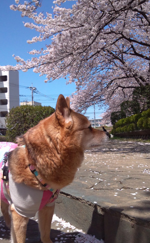桜とお散歩